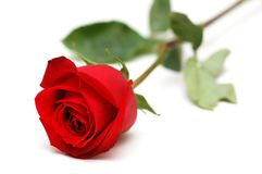 Rosa di colore rosso isolata sul bianco Fotografie Stock Libere da Diritti