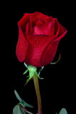 Rosa di colore rosso isolata sul nero Immagine Stock