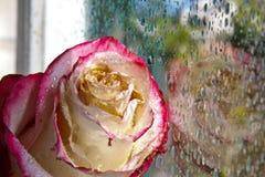 Rosa di rosa contro una finestra Immagine Stock