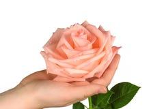 Rosa di rosa a disposizione isolata Fotografie Stock