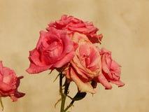 Rosa di fioritura immagine stock