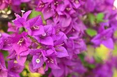 Rosa di fioritura della buganvillea Fotografie Stock