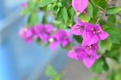 Rosa di fioritura della buganvillea Immagini Stock Libere da Diritti
