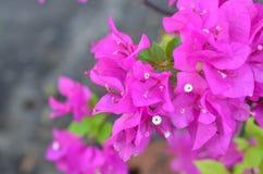 Rosa di fioritura della buganvillea Fotografie Stock Libere da Diritti