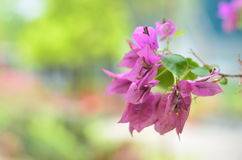 Rosa di fioritura della buganvillea Fotografia Stock