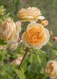 Rosa di fioritura di giallo nel giardino un giorno soleggiato fotografia stock libera da diritti