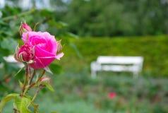 Rosa di fioritura romantica di rosa con il banco bianco nei precedenti immagine stock