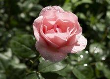 Rosa di rosa a fondo verde Immagine Stock Libera da Diritti