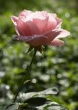 Rosa di rosa a fondo verde Fotografie Stock Libere da Diritti