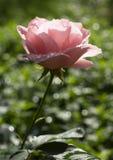 Rosa di rosa a fondo verde Immagini Stock
