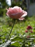 Rosa di rosa a fondo verde Fotografia Stock Libera da Diritti