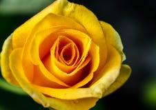 Rosa di giallo immagini stock