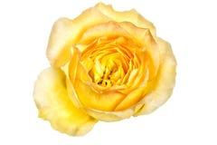 Rosa di giallo Fotografie Stock