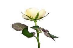 Rosa di giallo Immagini Stock Libere da Diritti