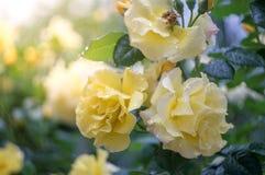 Rosa di giallo con sole dopo pioggia Fotografia Stock Libera da Diritti