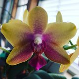 Rosa di giallo del fiore dell'orchidea Fotografia Stock