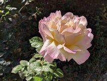 Rosa di giallo e di rosa fotografia stock