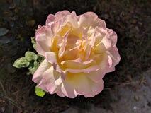 Rosa di giallo e di rosa immagini stock libere da diritti