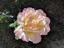 Rosa di giallo e di rosa immagine stock libera da diritti