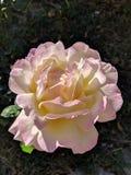 Rosa di giallo e di rosa fotografia stock libera da diritti