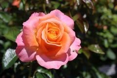 Rosa di giallo e di rosa Fotografie Stock