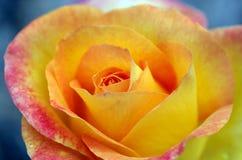 Rosa di giallo e di rosso Fotografie Stock