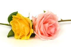 Rosa di giallo e di rosa isolata su un fondo bianco Immagini Stock Libere da Diritti