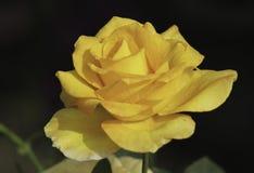 Rosa di giallo, fiore Fotografia Stock Libera da Diritti