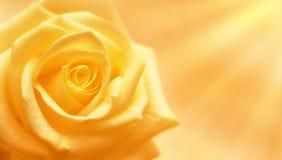 Rosa di giallo illuminata dai raggi del sole Immagine Stock Libera da Diritti
