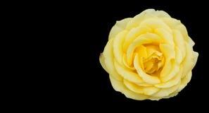 Rosa di giallo isolata su backgroud nero con lo spazio della copia Immagini Stock