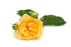 Rosa di giallo isolata su bianco Fotografia Stock Libera da Diritti