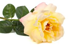 Rosa di giallo isolata su un bianco Immagini Stock Libere da Diritti