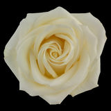 Rosa di giallo isolata sul nero Immagine Stock Libera da Diritti