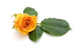 Rosa di giallo nel bianco isolato Fotografie Stock
