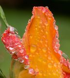 Rosa di giallo rosso ed arancio coperta di rugiada fotografie stock libere da diritti