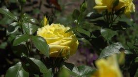 Rosa di giallo su un ramo fra le foglie video d archivio