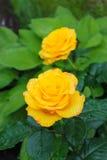 Rosa di giallo in un giardino Fotografia Stock