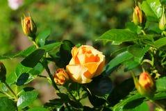 Rosa di giallo, varietà ibrida Fotografia Stock Libera da Diritti