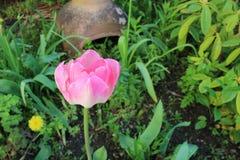 Rosa di rosa di giardino immagine stock
