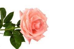 Rosa di rosa isolata su un fondo bianco Immagini Stock