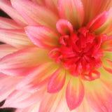 Rosa di jamesonii della gerbera Fotografie Stock Libere da Diritti