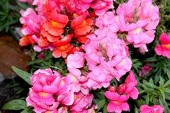 Rosa di majus di antirrino, bocca di leone, fiore del cane Immagini Stock Libere da Diritti