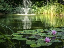 ` Rosa di Marliacea Rosea del ` di due ninfee nella priorità alta dello stagno Fontana vaga della cascata nei precedenti fotografia stock