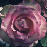Rosa di mezzanotte Immagine Stock Libera da Diritti