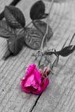 Rosa di monocromio Fotografia Stock