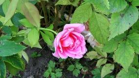 Rosa di rosa nel parco stock footage
