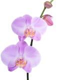 Rosa di phalaenopsis dell'orchidea Fotografie Stock