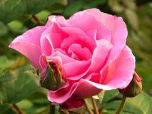 Rosa di rosa Immagini Stock