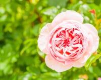 Rosa di rosa Immagine Stock
