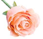 Rosa di rosa Immagini Stock Libere da Diritti